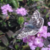 USECC-White Checkered Skipper