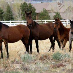 Virginia Range horses